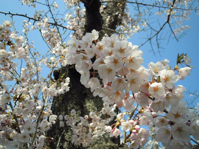 20100425sakura10.jpg