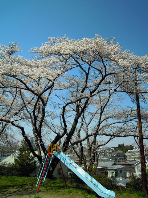 20100425sakura2.jpg