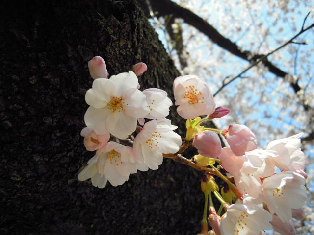 20100425sakura13.jpg