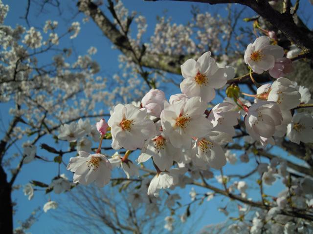 20100425sakura4.jpg