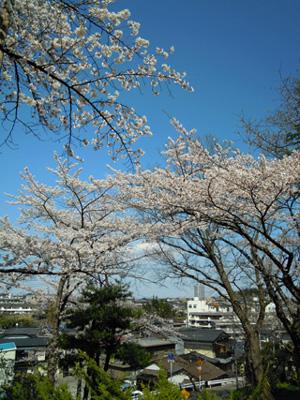 20100425sakura8.jpg
